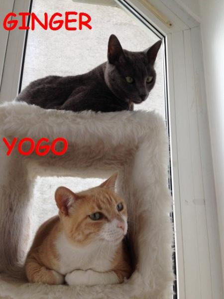 YOGO Y GINGER
